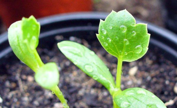 Eryngium_maritimum_seedling_-_first_leaf