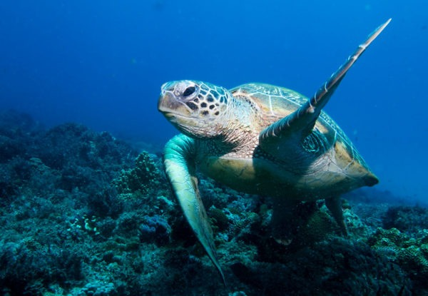 Photo of Green Turtle