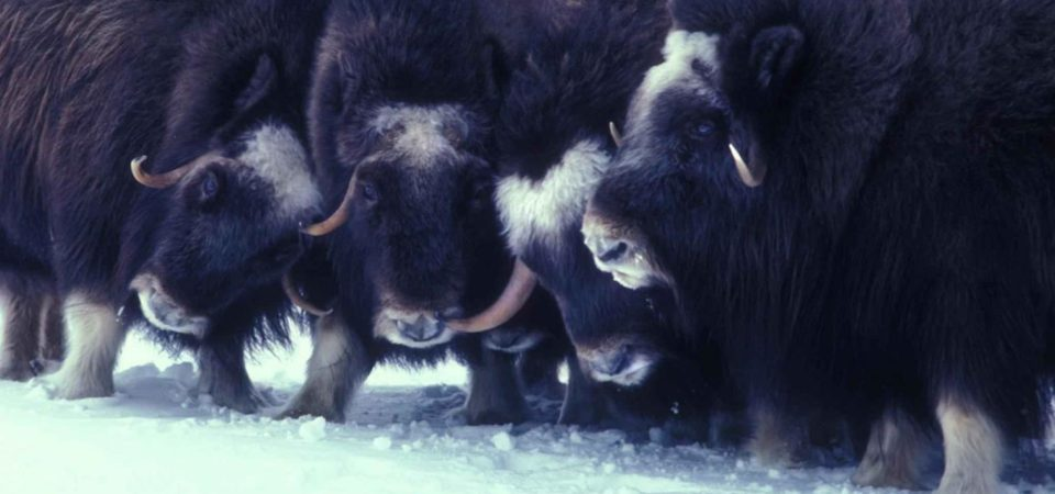 Muskox animals arctic ...ovibos moschatus