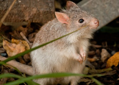 Burrowing bettong by Daniela Parra/ flickr