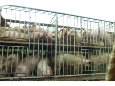 Pigs Being Driven to Slaughter Outside of Shanghai