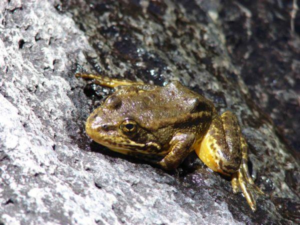 Mountain Yellow legged frog.PIXNIO-27883-2048x1536