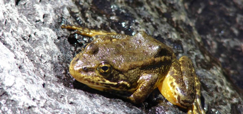 Mountain Yellow legged frog.PIXNIO-27883-2048x1536