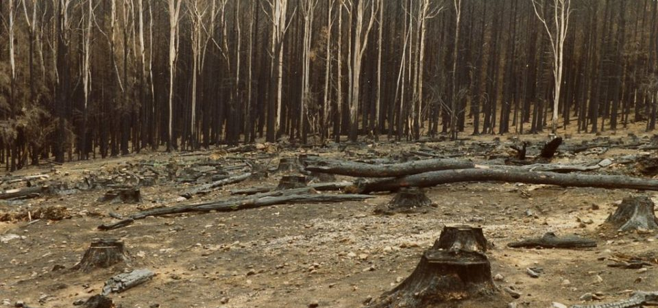 024px-Burnt_pine_forest_at_Mount_Macedon_after_the_1983_Ash_Wednesday_bushfires