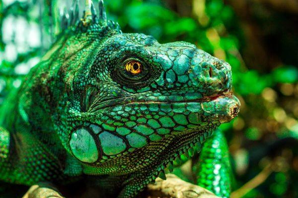 Photo of green iguana head