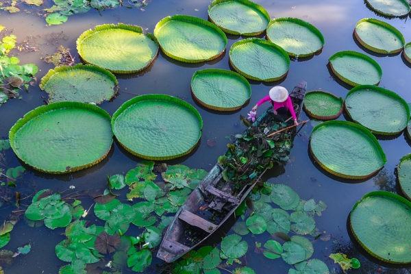Woman harvesting lilies on the Mekong River.
